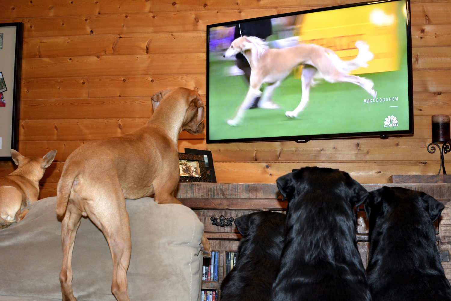Dogs watching Westminster