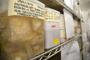 The Organ Room's specimens range in age from recent to decades old, as is the case with the brains shown in this photo.