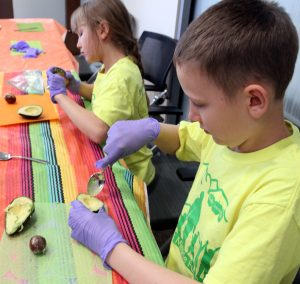 Children holding spoons dig out the pulp from avocados.