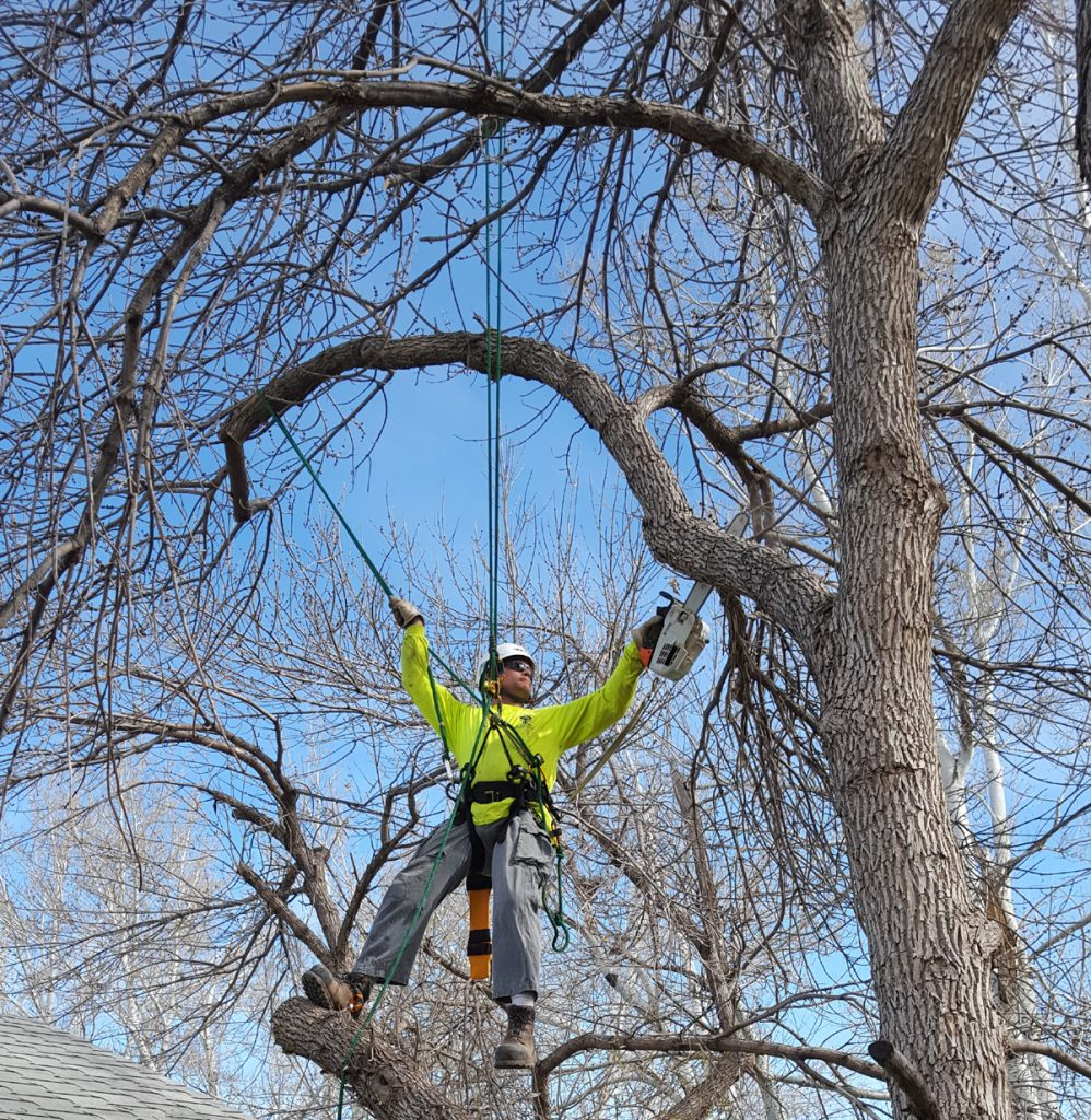 Daniel Bryce is shown high in a tree as he cuts limbs with a chainsaw.