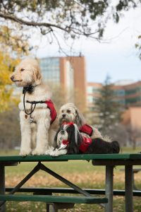 three therapy dogs on a picnic table with UCHealth Memorial Hospital in the background.