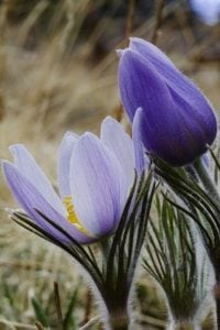 closeup of a purple and white flower that blooms in the spring in Rocky Mountain National Park. It's called the Colorado pasque flower.