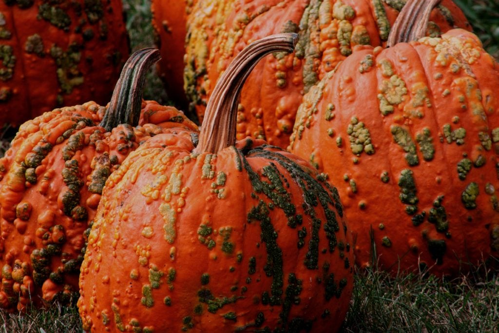 This picture shows an unusal variety of pumpkins called the red warty thing. They are dark orange pumpkinsa nd look like they have warts on the outsde. Despite being ugly, they're great for cooking.