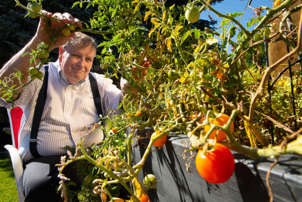 Ken Smith tends to tomato plants