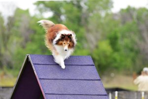 Lassie jumps over an obstacle during agility training.