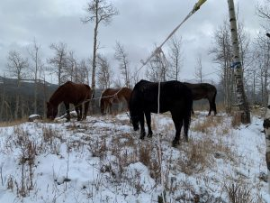 Horses graze on native grasses in this photo.