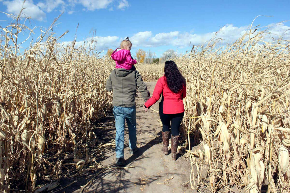 family walking away in corn field. Parents hold hands as toddler on dad's shoulders.