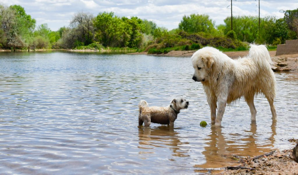 a little dog faces a big dog as they stand in water at an off-leash dog park