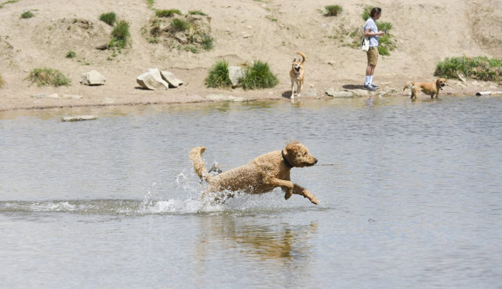 a labradoodle swims at Chatfield State Park off-leash dog area