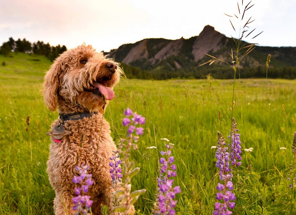 A caramel-colored labradoodle named Garbanzo poses with purple wildflowers at Chautauqua Park in Boulder.