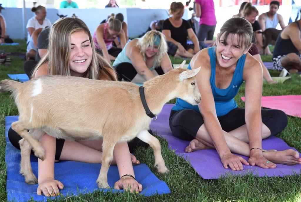 goat yoga at boulder county fair
