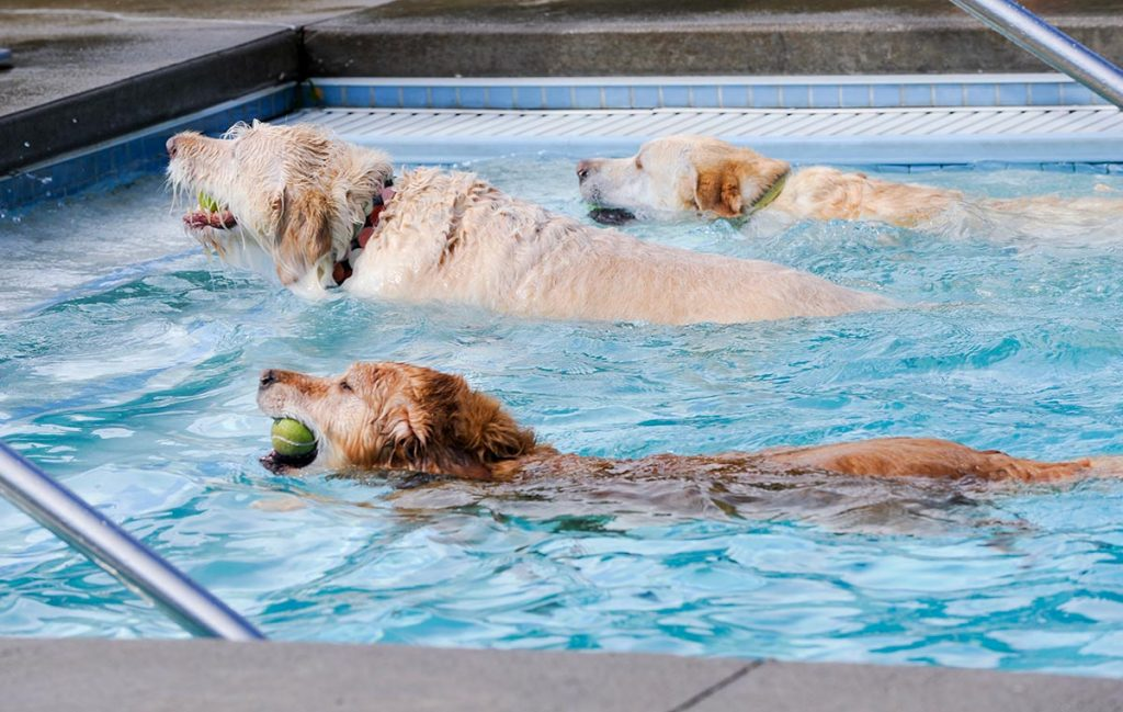 three yellow dogs swim out of a pool with tennis balls