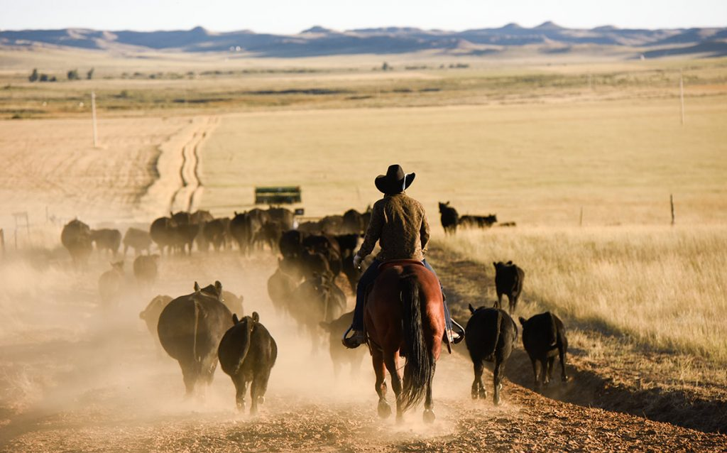 Rancher and cancer survivor, Nathan Kissack, driving cattle on his parents' Wyoming ranch.