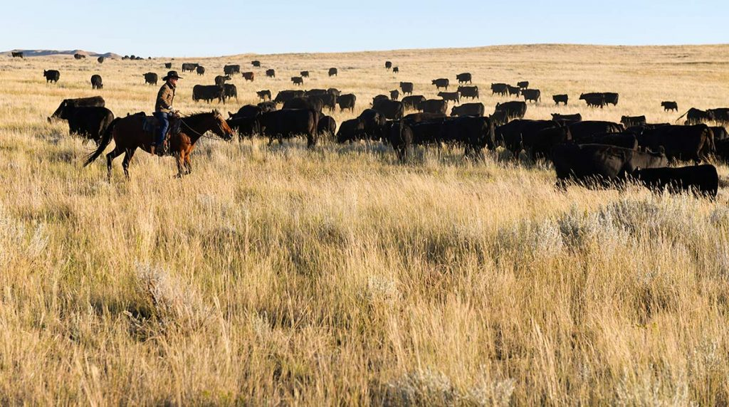 Rancher Nathan Kissack who coped with blood cancer,drives cattle on his family's Wyoming ranch.