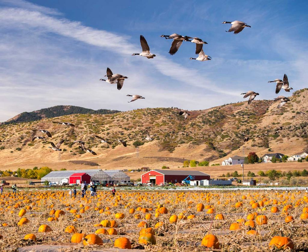 birds fly over a pumpkin patch at Chatfield Farms
