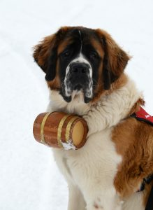 This is a photo of Powder, the safety dog ambassador at Steamboat Resort.