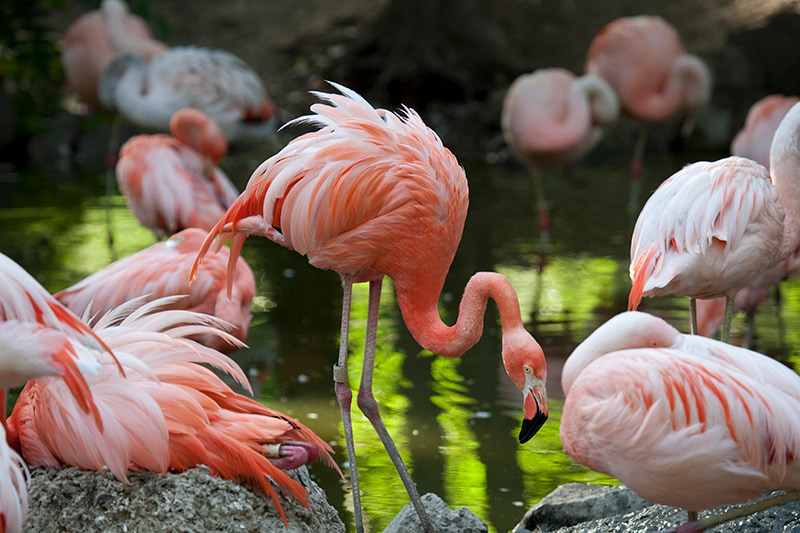 flamingoes at the Denver Zoo, enjoy them during one of the 2020 free days at denver cultural institutions.