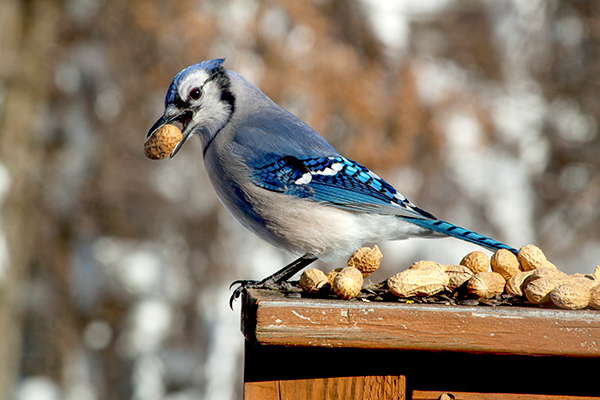 Birding for beginners. A blue jay with seeds.
