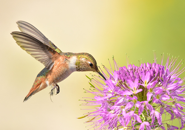 Birding for beginners: rufous hummingbird feeding on a flower.