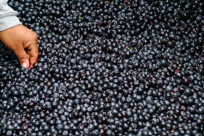 hand in a tub of grapes. Could grape seed extract help slow the spread of prostate cancer?