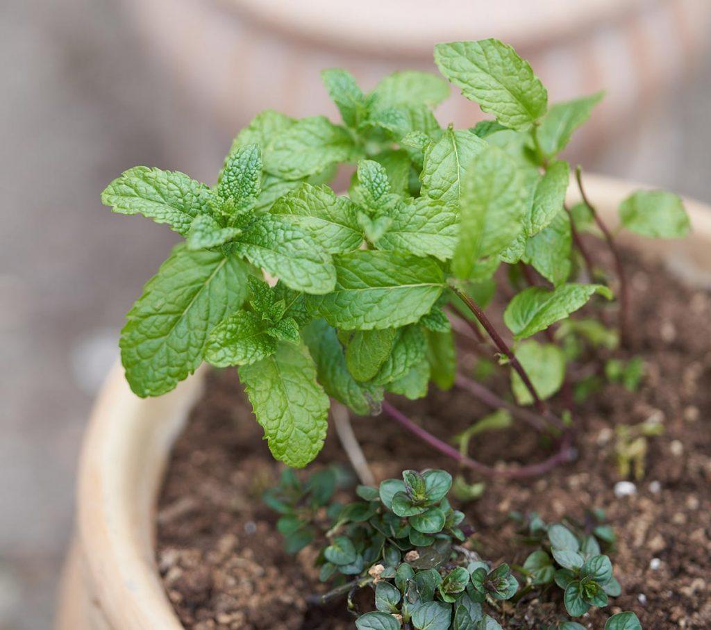 a photo of mint