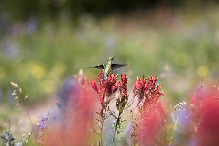 Hummingbird on a red flower.