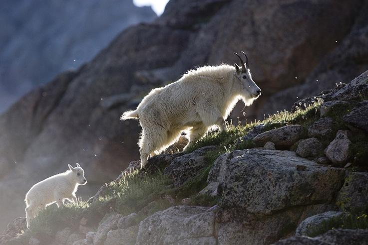 Mountain goats in the Colorado mountains.