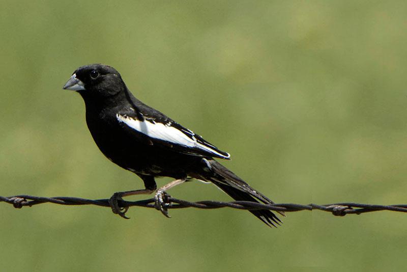 Male Lark Bunting. Photo by Bill Schmoker, courtesy of Bird Conservancy of the Rockies.