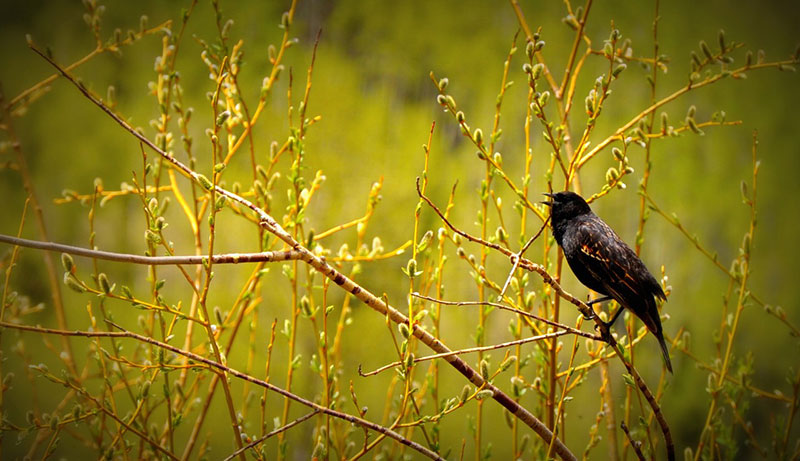 A Red Winged Blackbird, which is found along the Front Range. Photo by Rebecca Riedner, courtesy of Bird Conservancy of the Rockies.